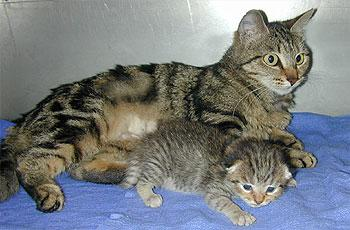 Ditteaux and domestic cat surrogate mother Brooke (JPG)