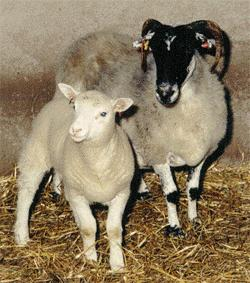 Dolly (left) with her surrogate mother (JPG)