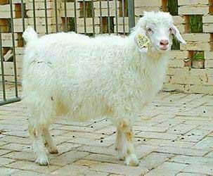 The first cloned goat Yangyang (JPG)