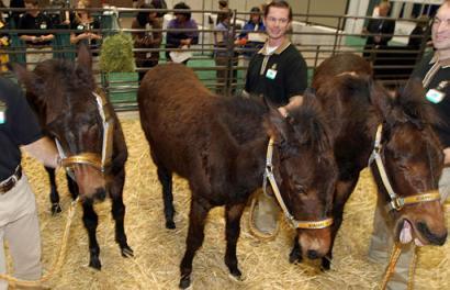 Cloned mules (JPG)