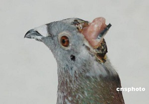 Chinese cyber-pigeon