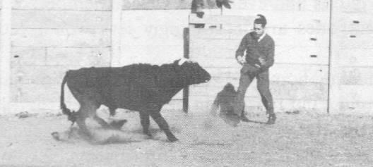 José Delgado with bull (2 of 2)