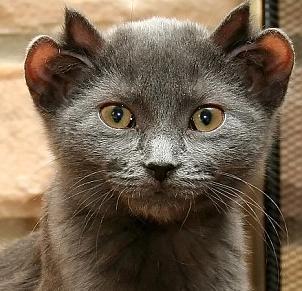 Yoda, The Four-Eared Cat