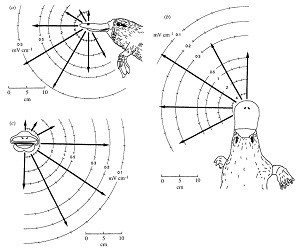 Platypus reception - Manger & Pettigrew 1995