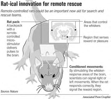 Rat implants (JPG)